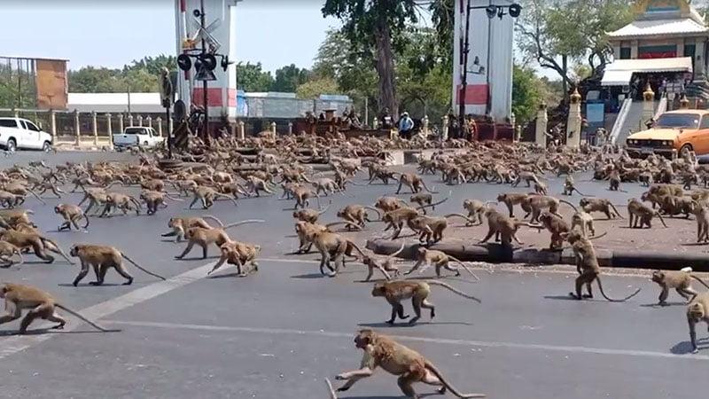 Como no hay turistas cientos de monos han salido en busca de comida en Lopburi, Tailandia
