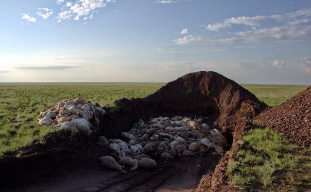 Planeta: 120.000 antílopes Saiga mueren misteriosamente en Kazajistán