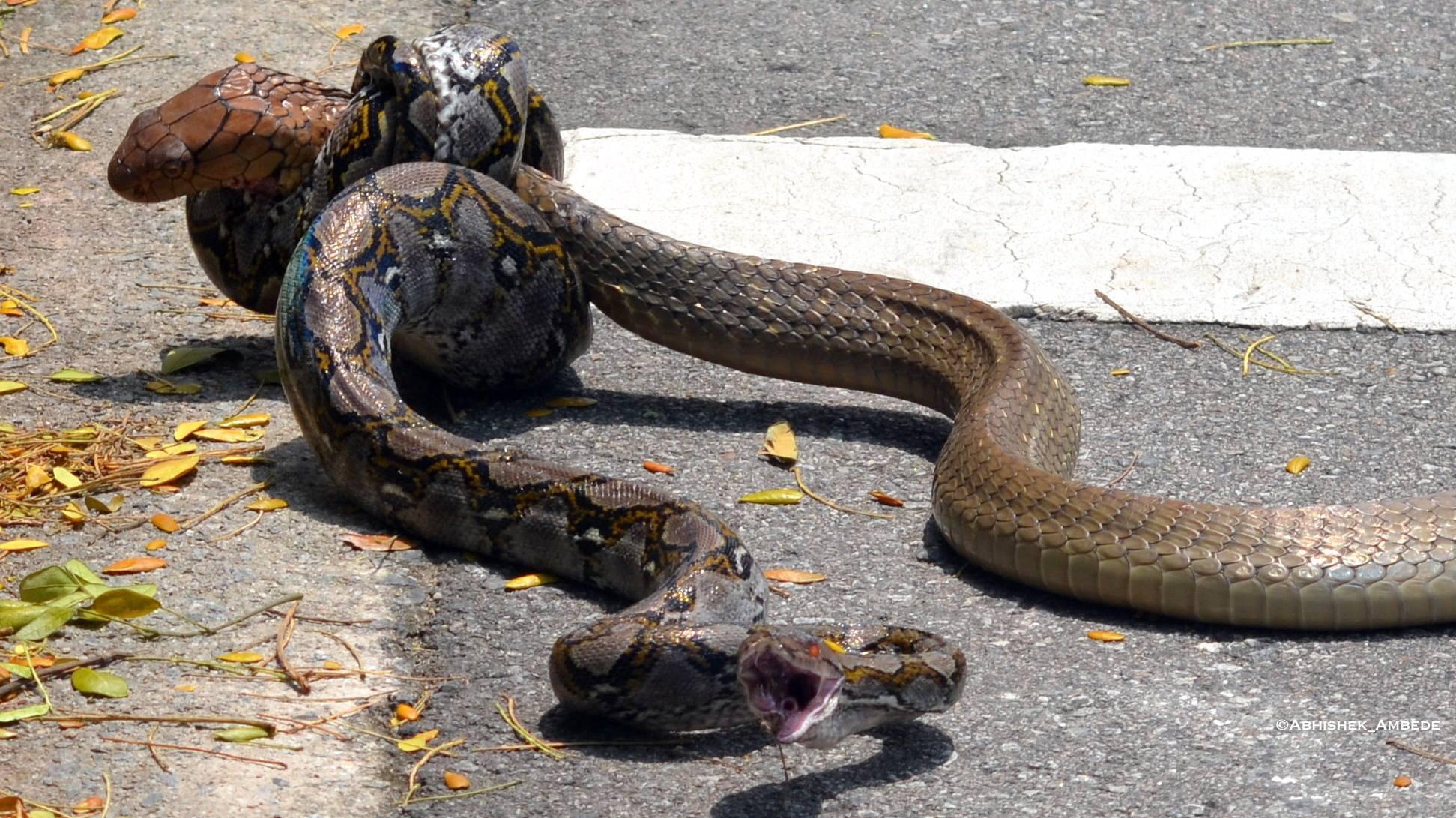 Video: Cobra vs Python a la salida de una Universidad en Singapur