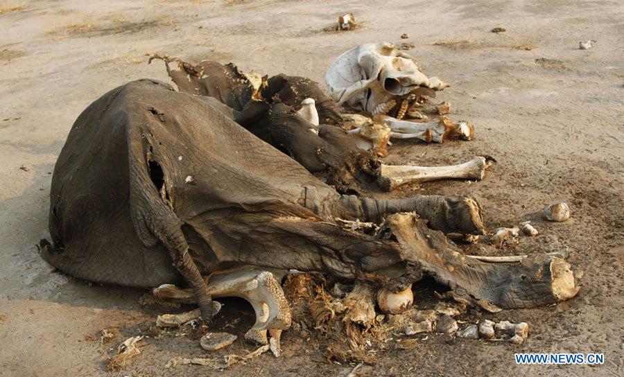 HORROR: 54.000 euros mataron al Elefante más grande de Zimbaue, 40 envenenados