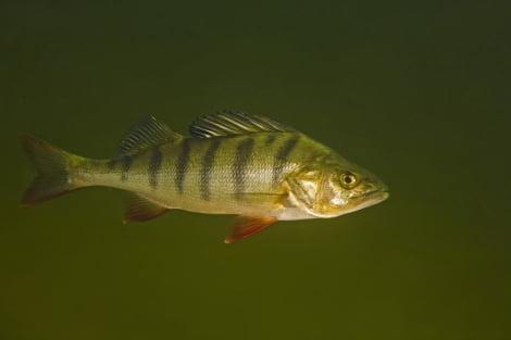 Los humanos están volviendo locos a los peces por tomar antidepresivos y orinarlos a los ríos.