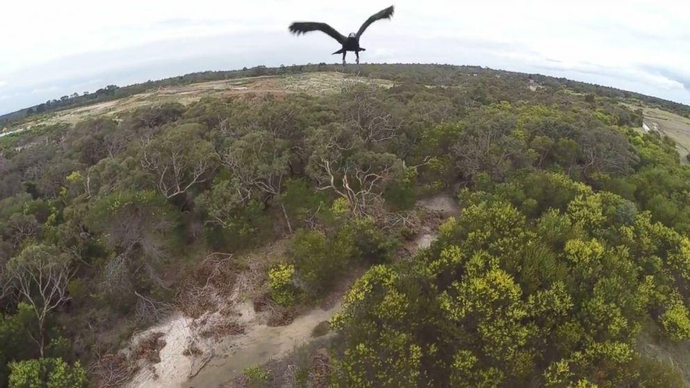 """Video: Mira un AGUILA """"Bajarse"""" un Drone"""