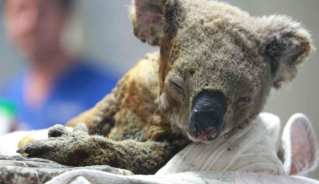 Cerca de 480 millones de animales han muerto por los incendios en Australia