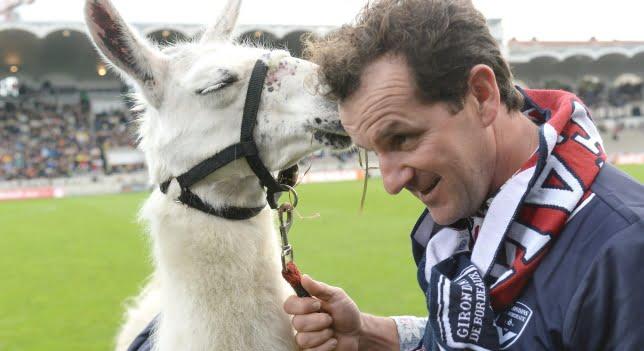 La llama que se fue de fiesta se convierte en la mascota de un equipo de fútbol de Francia