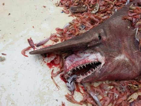 Que Miedo! Aparición de especie rarísima de Tiburon Duende en Key West