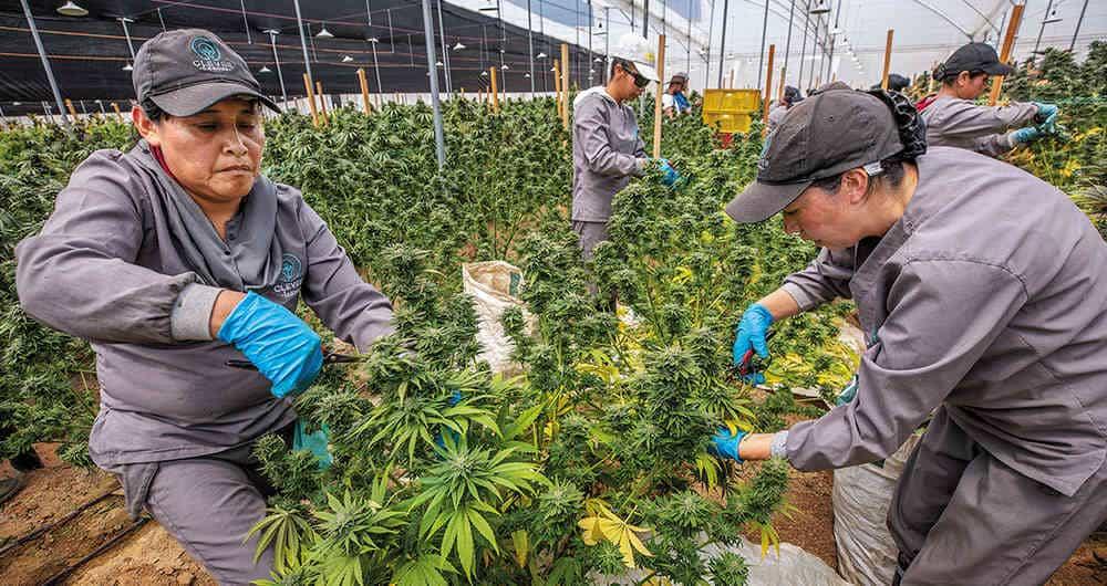 Para el Cannabis recreativo legal en Colombia: así van las cosas