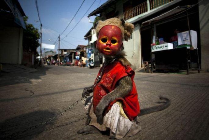 Creepy Indonesian street monkeys 1 PERTURBADORES MONOS ENMASCARADOS MENDIGAN EN INDONESIAsin categoria
