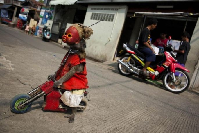 Creepy Indonesian street monkeys 7 PERTURBADORES MONOS ENMASCARADOS MENDIGAN EN INDONESIAsin categoria