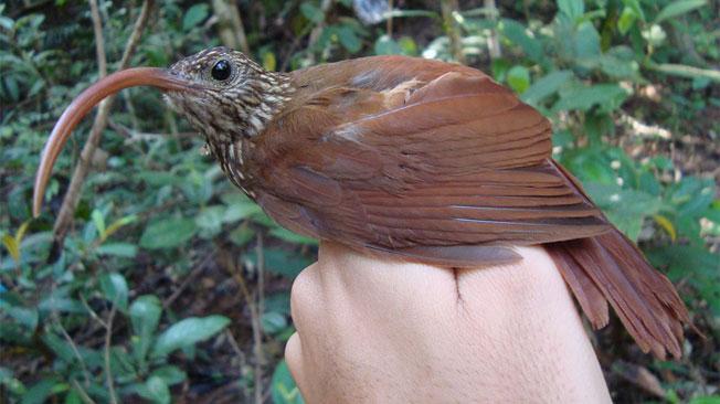 Descubren nuevas especies de aves en la Amazonas