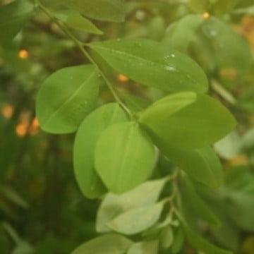 Erythroxylum_coca_foliage