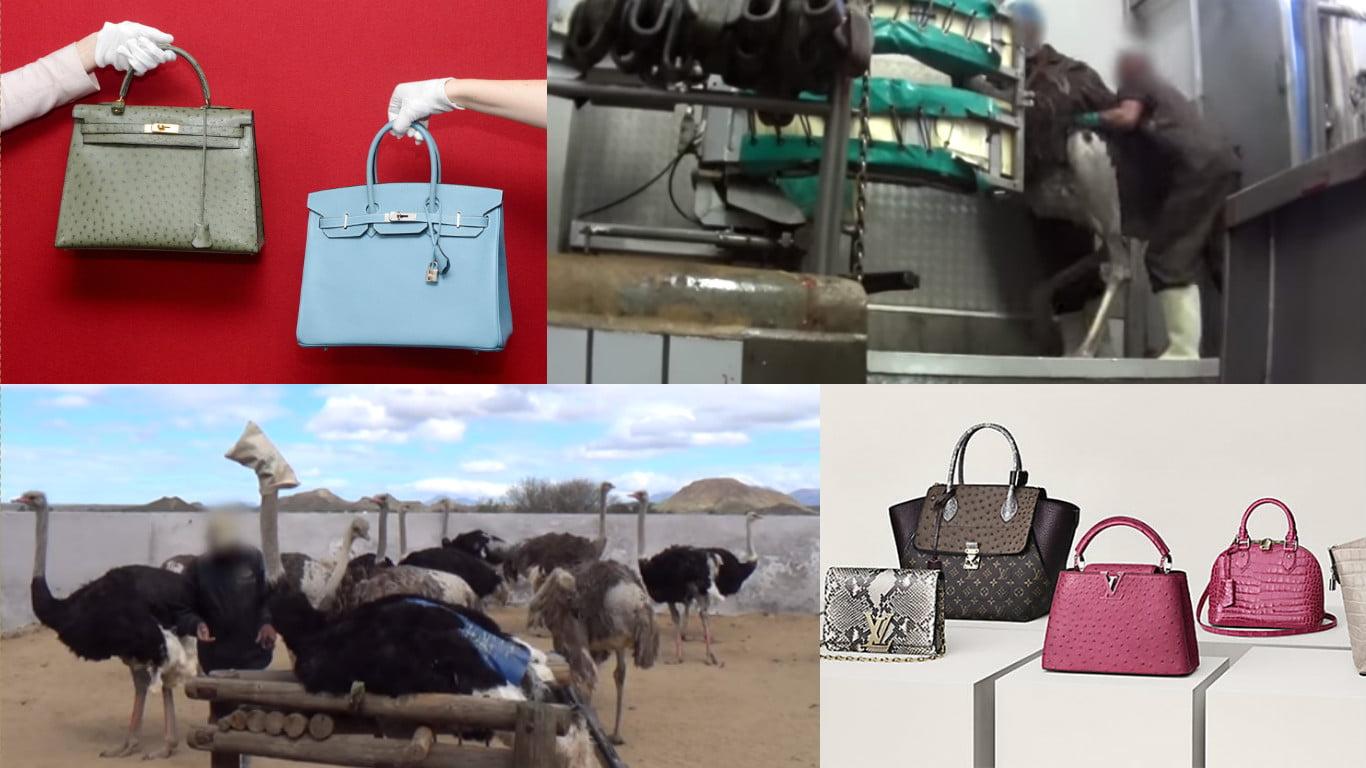 Video: Avestruces torturados para hacer bolsos Prada, Gucci etcétera