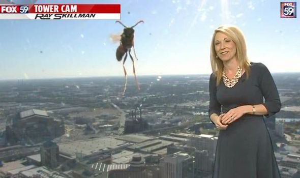 Giant bee attacks US weather presenter Jennifer Ketchmark 518030