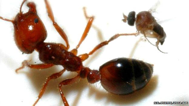 La mosca argentina que decapita hormigas invasoras en EE.UU.