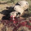 Asesinos se entran a Zoológico de París y matan Rinoceronte para robarle sus cuernos por Dinero.