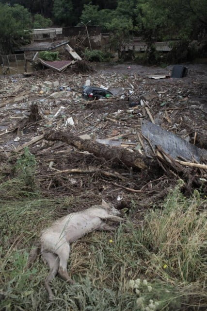 A body of an animal lies at a flooded zoo in Tbilisi, Georgia, Sunday, June 14, 2015. Tigers, lions, a hippopotamus and other animals have escaped from the zoo in Georgiaís capital after heavy flooding destroyed their enclosures, prompting authorities to warn residents in Tbilisi to stay inside Sunday. (AP Photo/Sergei Poliakov)