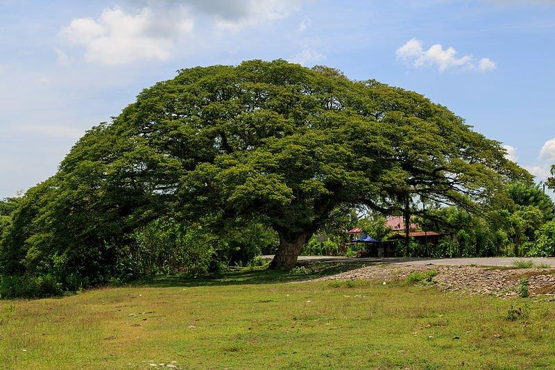 Están tumbando árboles con casi 200 años de vida en Sucre
