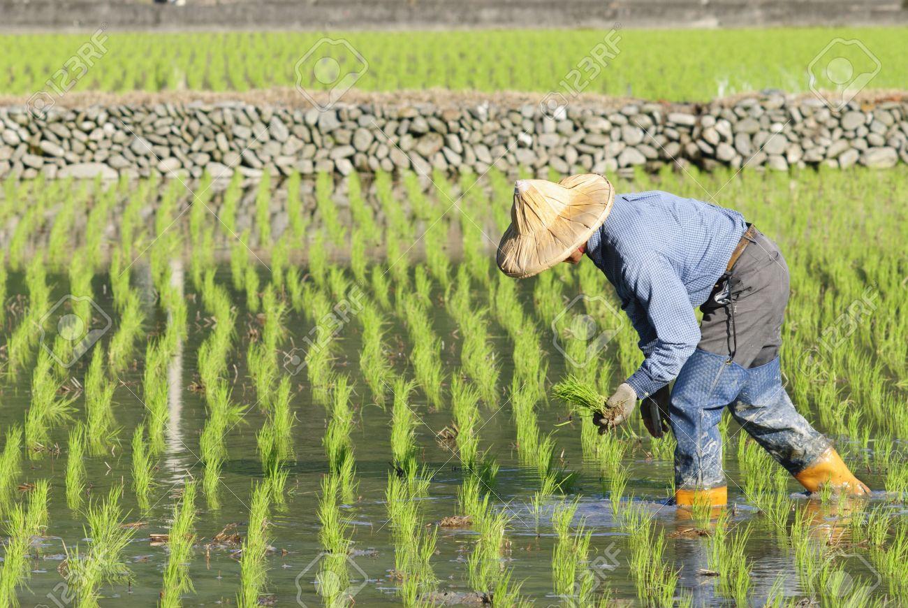 En China descubren como cultivar arroz en agua salada ¡El futuro es ahora!