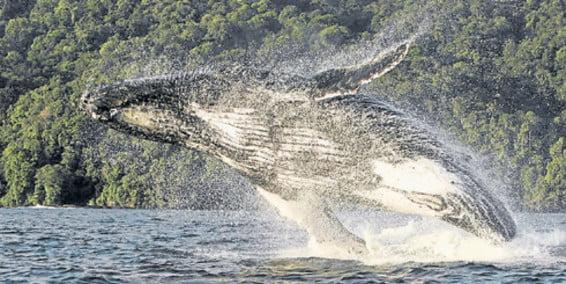 Empieza temporada de avistamiento de ballenas en el Pacífico Colombiano