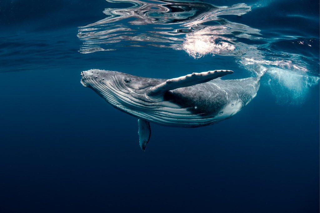 Reciente investigación comprobó que las ballenas jorobadas intercambian su mágico canto