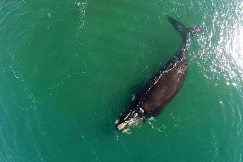 VIDEO: Mira el momento en que dos ballenas en peligro de extinción 'se abrazan' nadando en el Atlántico