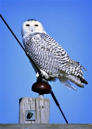 bc-us--snowy owls--1534618256_v2.grid-4x2