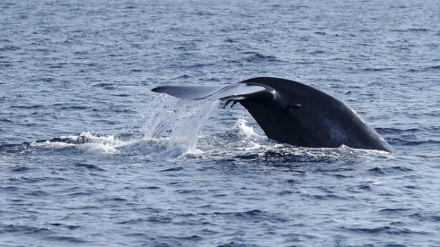 blue-whale.si (1)
