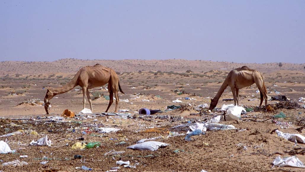Camellos del Golfo Arábigo están muriendo debido al plástico