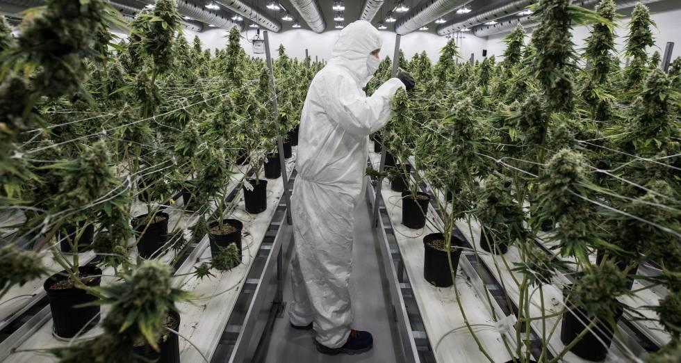 El consumo de marihuana altera regiones cerebrales para el reconocimiento emocional