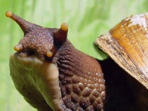 caracol_africano