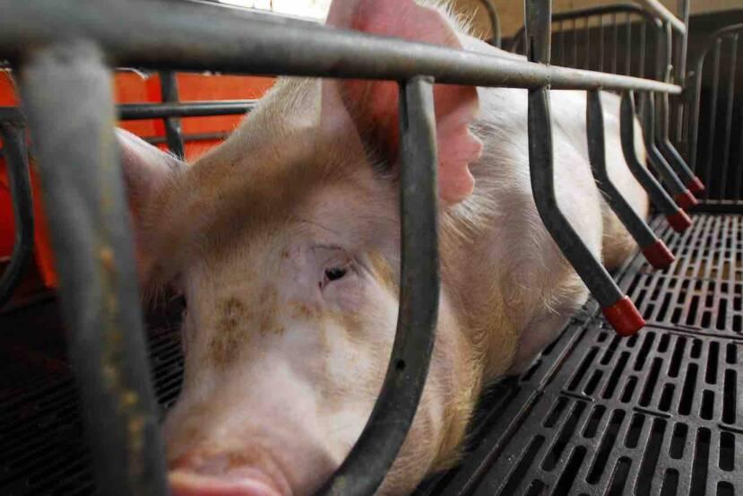 Prohibido criar animales en jaulas: Parlamento Europeo