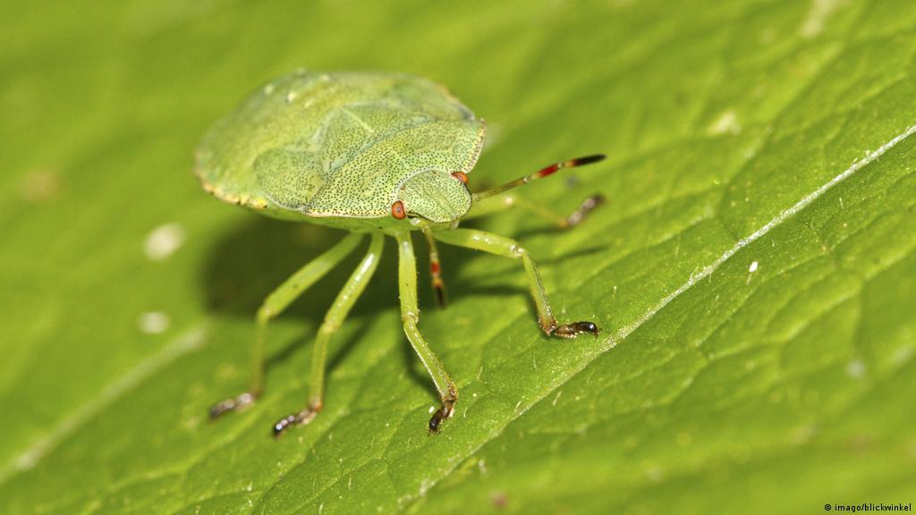 Francia: Insectos reemplazan a pesticidas para proteger cultivos