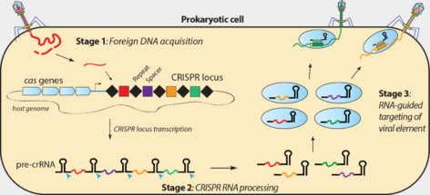 CRISPR-Cas la técnica para editar humanos ¡Los futuros artificiales son ahora!