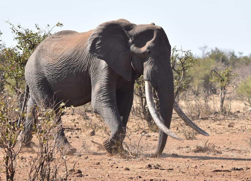 Elefantes africanos también en peligro de extinción