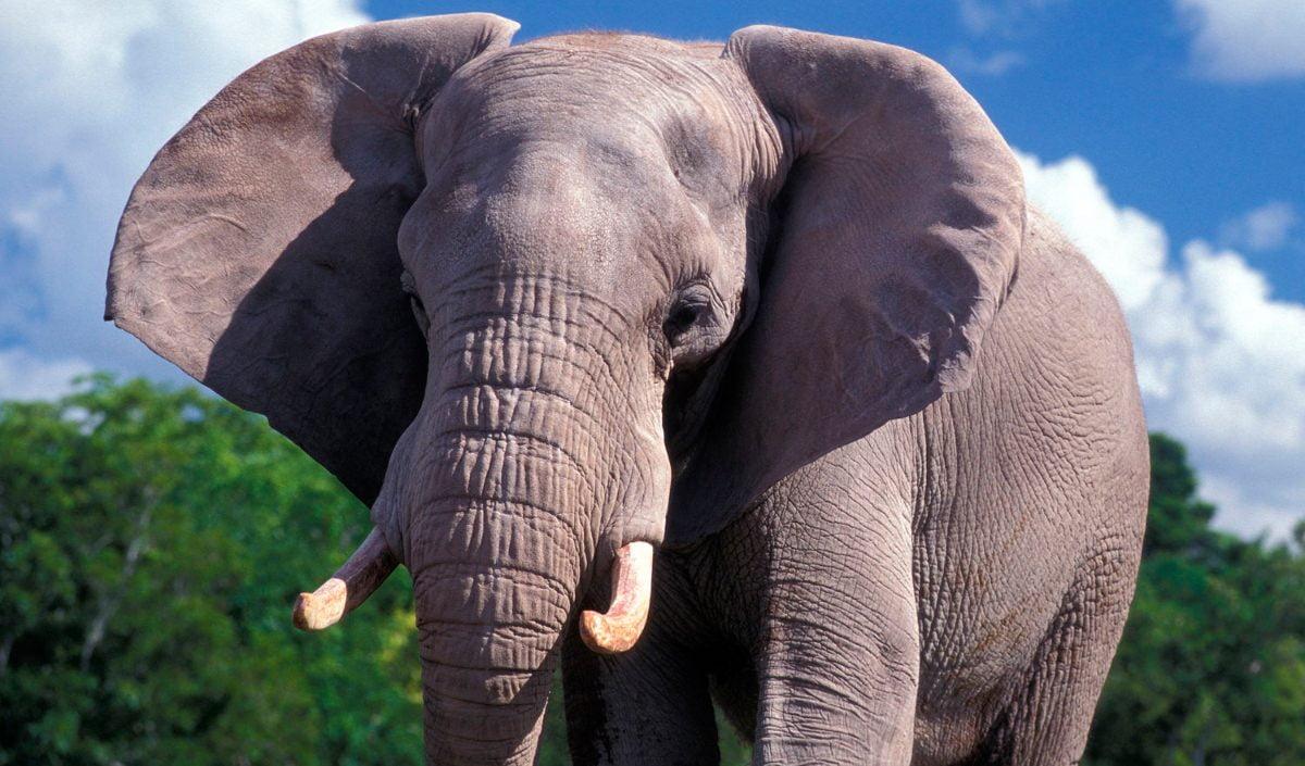 Circos y zoológicos ya no pueden comprar elefantes africanos