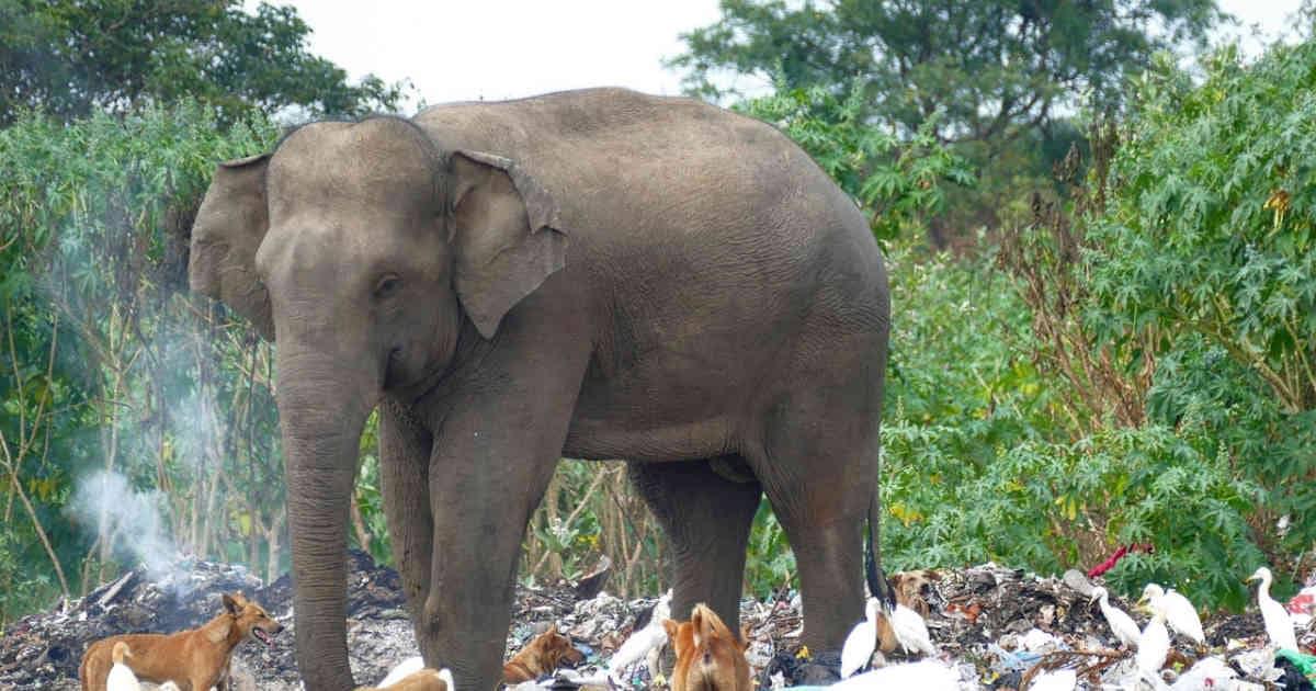 Elefantes comen basura para saciar su hambre
