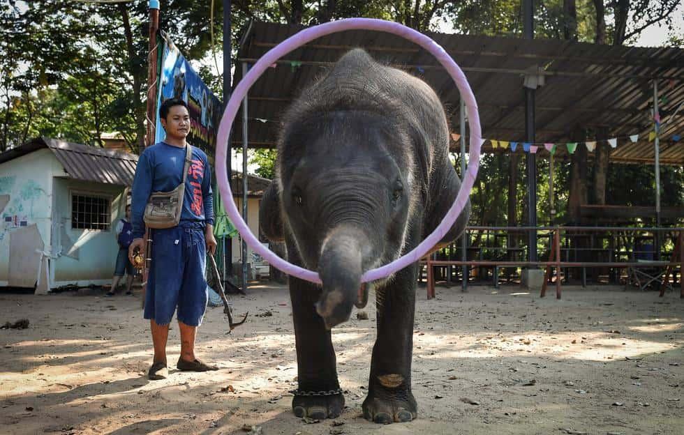 Así esclavizan Elefantes en Tailandia solo para atraer turismo