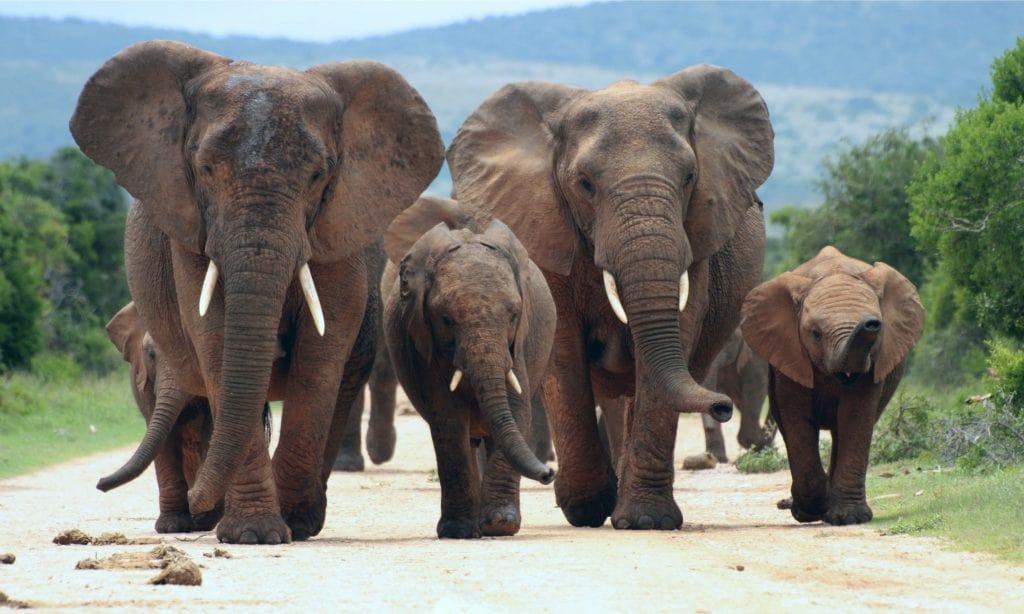 Investigación muestra cómo los elefantes podrían salvarse de la extinción gracias a su orina