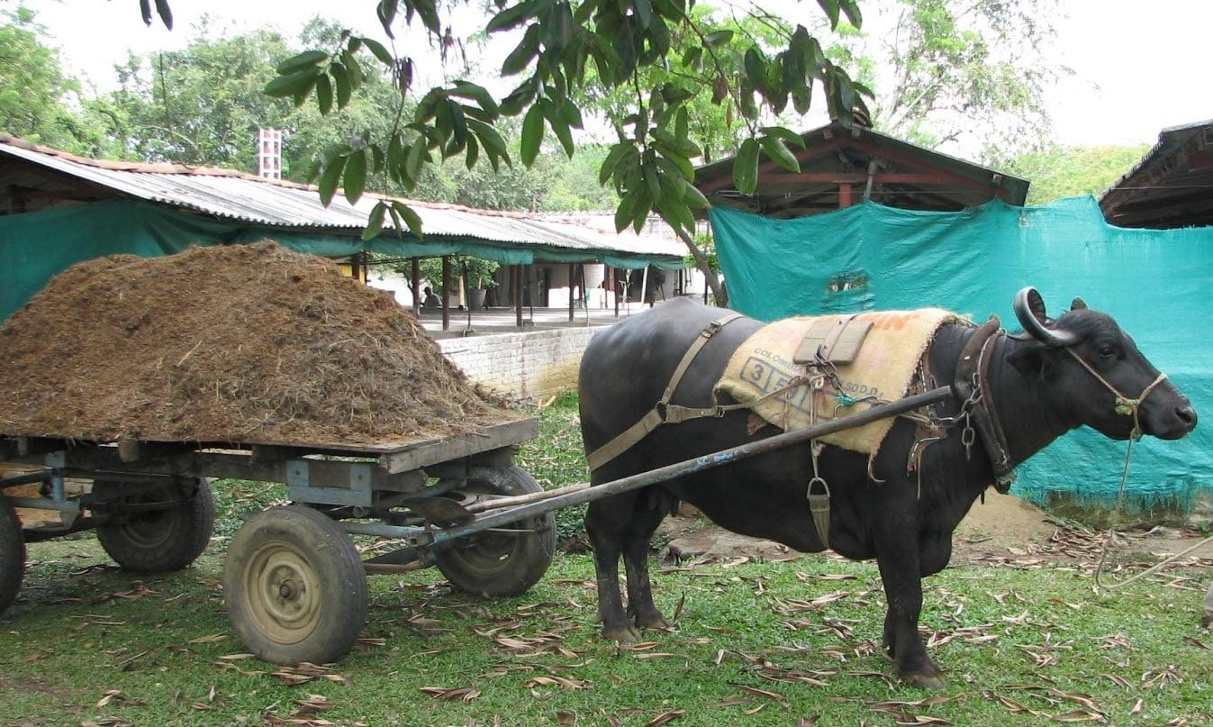 Con estiércol de animales los campesinos pueden generar gas para sus viviendas