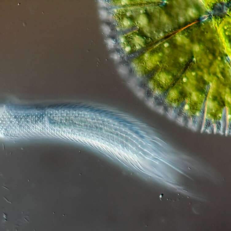 hairyback worm bottom next to algae top right