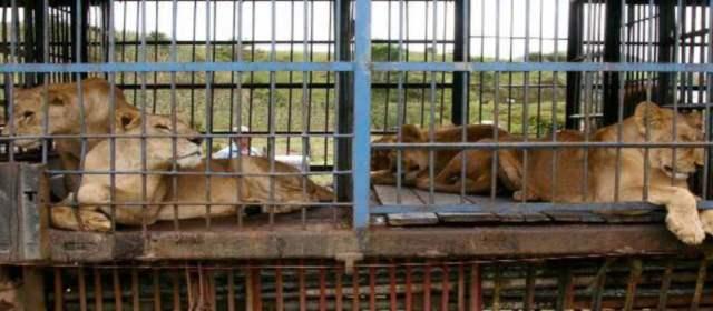 Prohíbida la explotación de Animales en Circos. Pero no en Corridas, Corralejas y Gallos...
