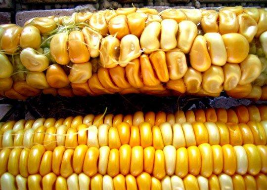 maiz monsanto prohibido