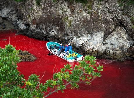 A punto de comenzar la matanza de 20.000 delfines en Taiji