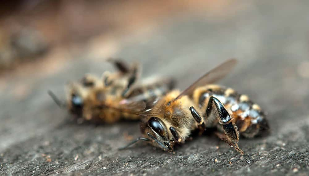 Producción de leche de almendras mata a miles de millones de abejas