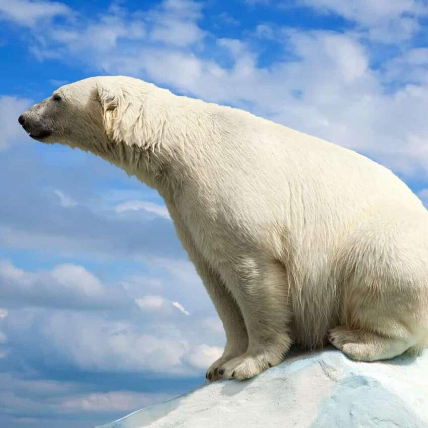 oso polar 1920