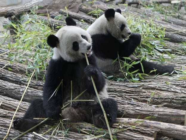 Mundaial 2014: Pandas suplen al Pulpo Paul