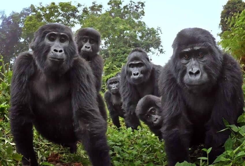 robot capta a gorilas cantando