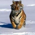 Solo quedan 3.000 tigres en libertad en todo el planeta.