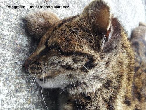 Hallan tigrillo lanudo atropellado en la vía Las Palmas
